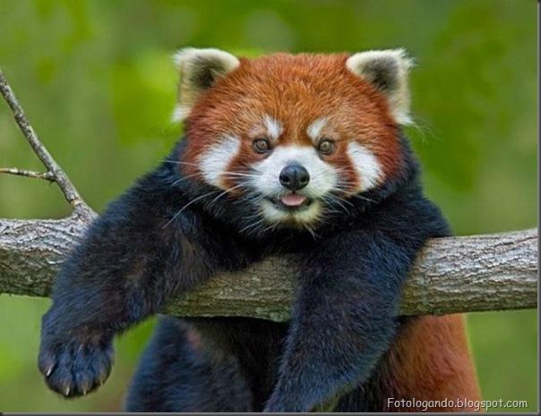 Panda Vermelho (8)