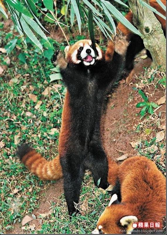 Panda Vermelho (4)