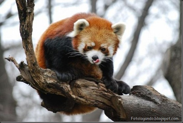 Panda Vermelho (2)