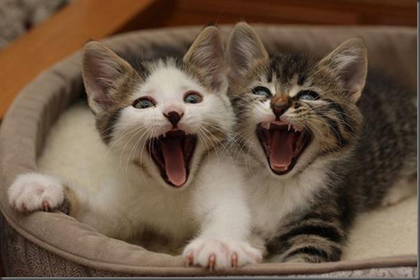 Fotos de gatinhos fofos bocejando (2)