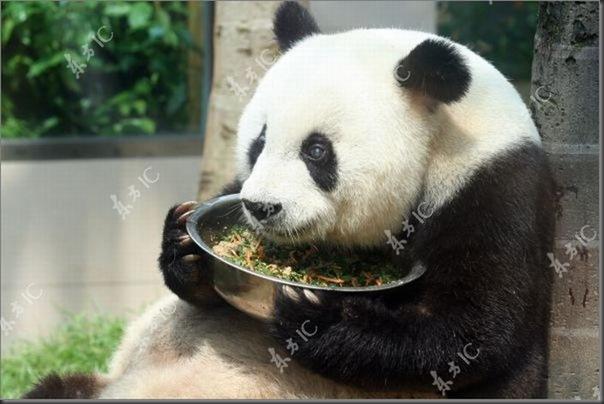 Panda mais velha da China completa 30 anos (3)