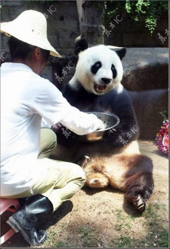 Panda mais velha da China completa 30 anos (8)