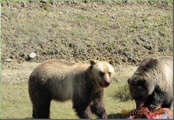 Jantar romantico entre ursos (22)
