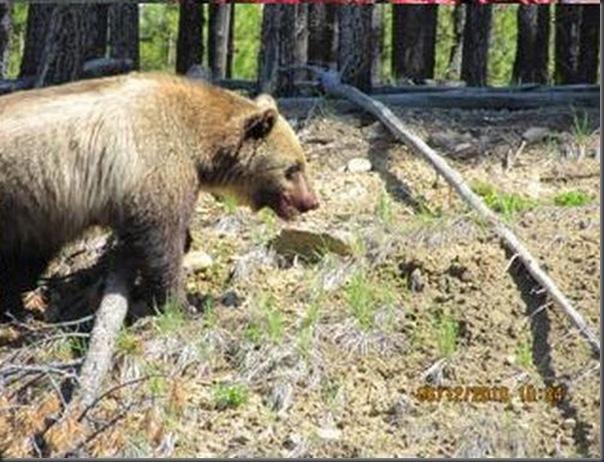 Jantar romantico entre ursos (31)
