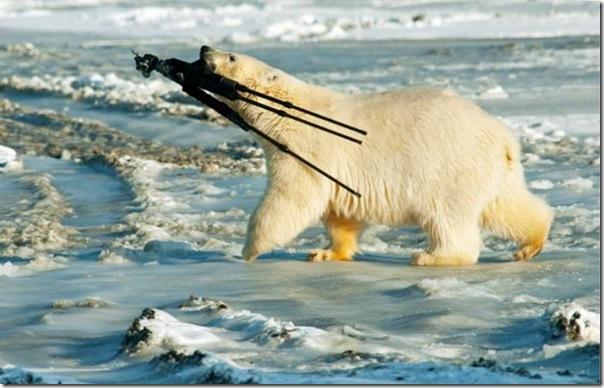 o urso polar não gosta de fotos