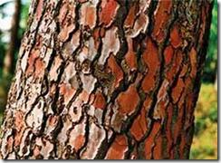 ���ʡѴ�ҡ���͡ʹ ( Pine Bark Extract )