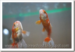 Gold+fishes4
