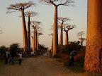 夕陽を浴びるバオバブ-マダガスカル