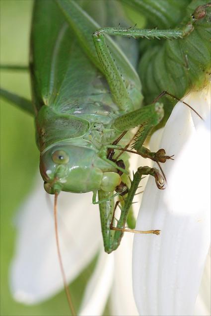 repas de grande sauterelle verte