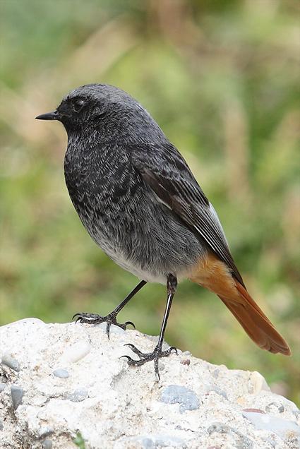 Le rougequeue noir phoenicurus ochuros for Oiseau queue rouge