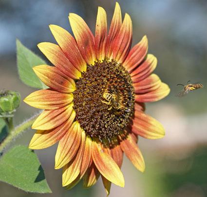 Tournesol une plante pour oiseaux et insectes - Graines de tournesol pour oiseaux ...
