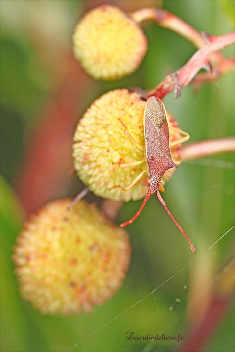 Gonocerus insidiator une punaise sur l 39 arbousier - Fruit de l arbousier ...