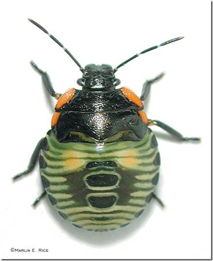 green_stink_bug_nymph