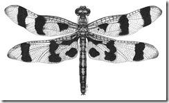 pender island amy dragonfly