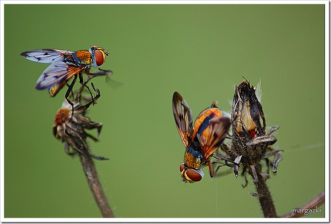 Ectophasia cf. crassipennis