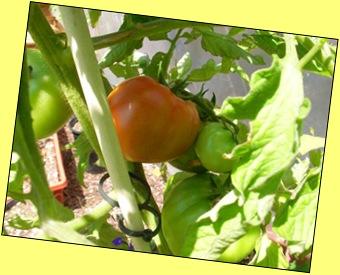 tomato6-15-09