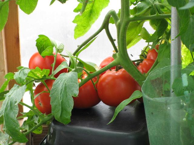 Greenhouse tomato 'Beefsteak'