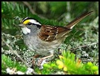 white_throated_sparrow_2