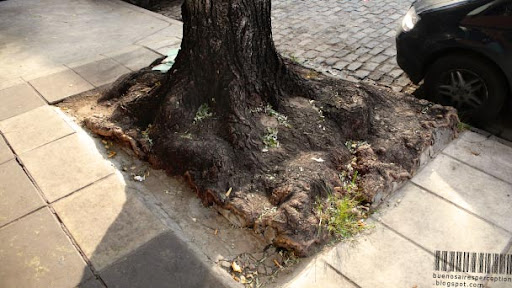 Ordinary Street Tree in Buenos Aires is Striving for Freedom and Space, Argentina