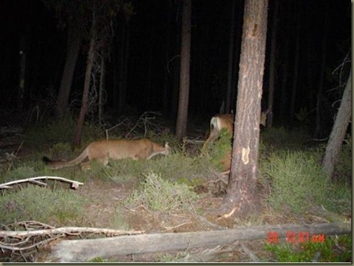 cougar_stalking_deer