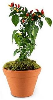 Casa de Valentina - Flora Flores - pimenta contra mau olhado