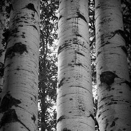 Aspens by Wendy Chavey - Nature Up Close Trees & Bushes