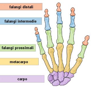 struttura_della_mano_ita.png