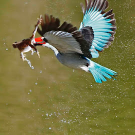Afternoon Meal by Chris Krog - Animals Birds ( senegalensis, halcyon, kingfisher, woodland )