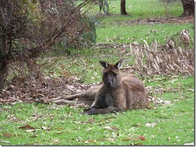 Kangaroo on Kangaroo Island