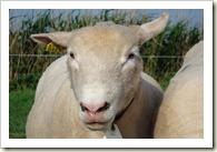 nieuwe schapen 007