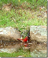 cardinal looking