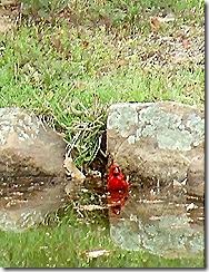 cardinal takes bath
