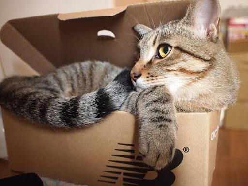 [写真]スニーカーの箱にムリヤリ入るグスタフ