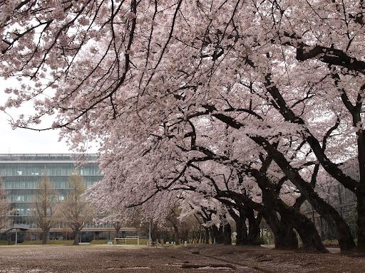[写真]相模女子大の桜並木