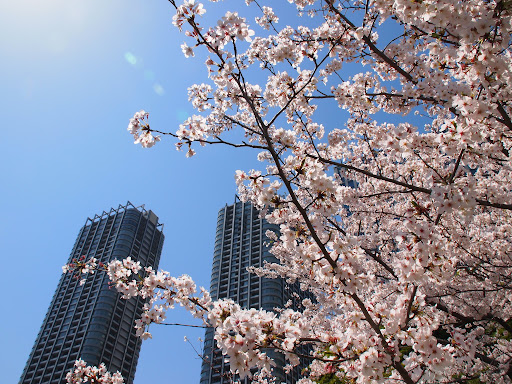 [写真]浜離宮恩賜庭園の桜
