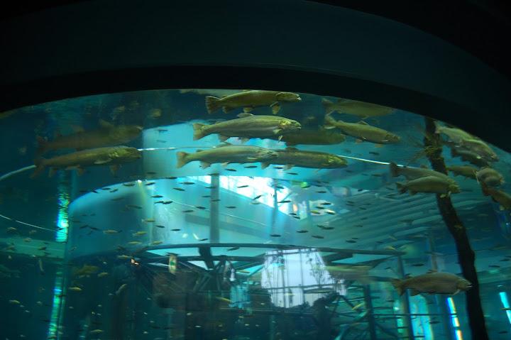 山梨県立富士湧水の里水族館で泳ぐイトウの写真