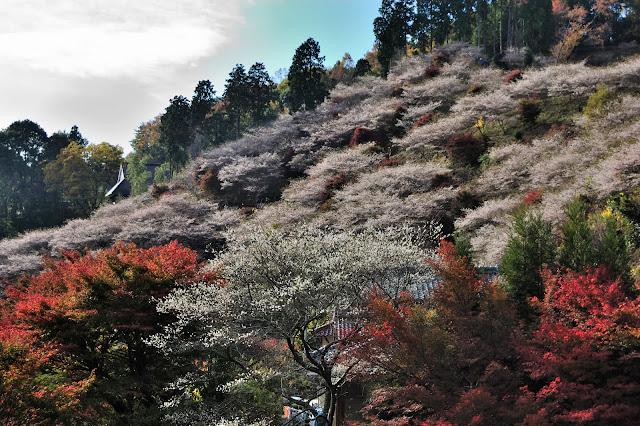 小原川身公園の四季桜と紅葉の写真