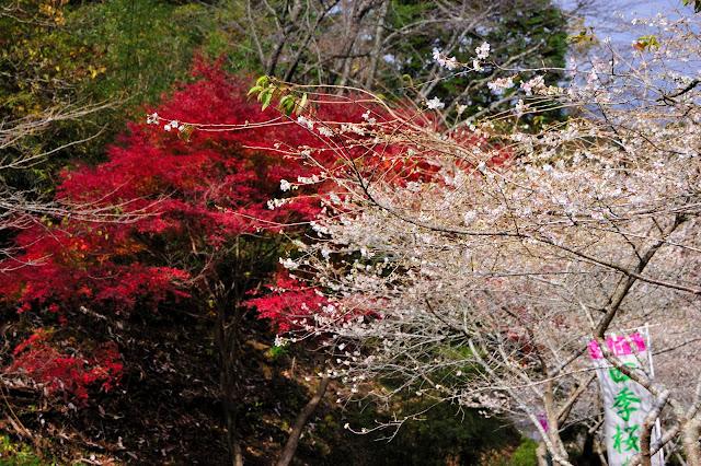 小原和紙のふるさとの四季桜と紅葉の写真