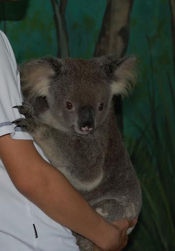 コアラのだっこの写真