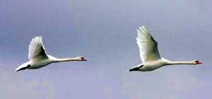 Летят гуси-лебеди