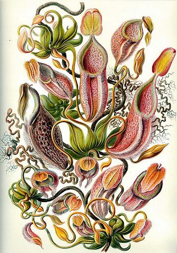 Рисунок Эрнста Геккеля - Nepenthe  (Nepenthaceae)