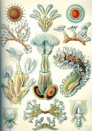 Рисунок Эрнста Геккеля - Bryozoa