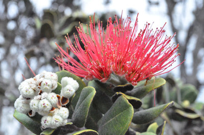 Red 'Ōhi'a Lehua - official flower of the Big Island. Photo taken on Kiluea by Lisa Callagher Onizuka.