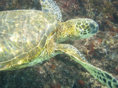 Sea turtle (Honu) swimming by as we snorkle. Big Island, Hawaii near Hapuna Beach. Photo by Lisa Callagher Onizuka