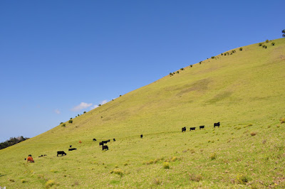 Cattle roaming verdant hillside - Waimea, Big Island, Hawaii