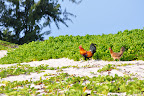 Beach Chickens. Rooster and his hen in paradise. Hawaii