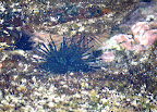 Tide pool sea urchin with blue striped spines. Near Kona, Hawaii.
