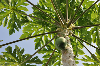 Papaya tree. Photo by Lisa Callagher Onizuka