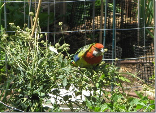 Rosella in the Salad Burnett-16