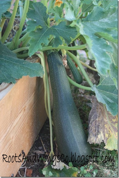 zucchini horn a
